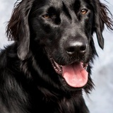 Humphrey (Flat Coated Retriever)