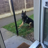 Reg (German Shepherd Dog)