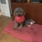 Trufa - Perro De Agua Portugués