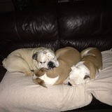 Bobby Betsy And Billie X  (English Bulldog)