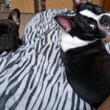 Alfa (Boston Terrier)