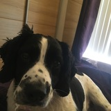 Clayton (English Springer Spaniel)