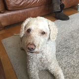 Jezzy (Spanish Water Dog)