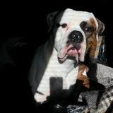 Bandit (American bulldog)