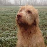Lucky (Drahthaariger Ungarischer Vorstehhund)