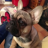 Jack (French Bulldog)