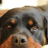 Olive (Rottweiler)