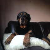 Rocco - Rottweiler