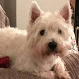 Paddy (West Highland White Terrier)