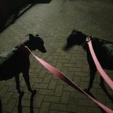 Ruby (Greyhound)