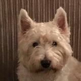 Teddy (West Highland White Terrier)