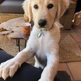 Lilly - Golden Retriever