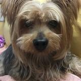 Pushkin   - Yorkshire Terrier