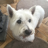 Bob (West Highland White Terrier)
