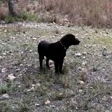 Lio - Labrador Retriever