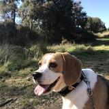 Kira - Beagle