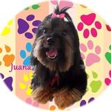 Juanita (Yorkshire Terrier)