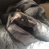 Delia (Italian Greyhound)