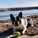 Mao - Bulldog Francés