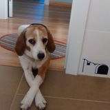 Ronie - Beagle