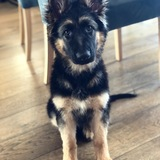 Milka (Deutscher Schäferhund)