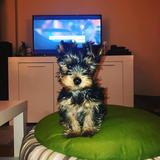 Toni (Yorkshire Terrier)