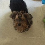 Macby (Yorkshire Terrier)