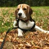 Ernie (Beagle)