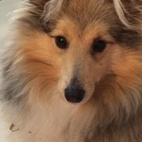 Tiggy (Shetland Sheepdog)