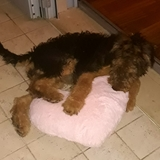 Mia Wallace (Airedale Terrier)