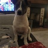 Jyn (Jack Russell Terrier)
