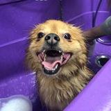 Benson (Pomeranian)