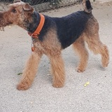 Higgins (Airedale Terrier)