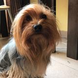 Romeo  - Yorkshire Terrier