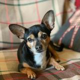 Momo (Chihuahua)