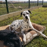 Junior (Dalmatien)