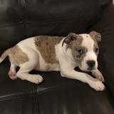 Hugo (American bulldog)