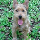 Spock (Australian Terrier)