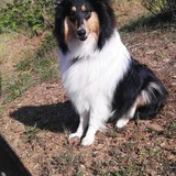Ely (Rough Collie)