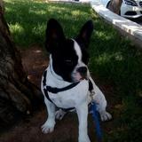 Noha  (Bulldog Francés)