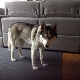 Keisy - Husky Siberiano
