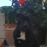 Dark (Staffordshire Bull Terrier)