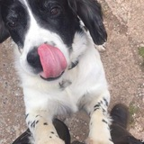 Jake (English Springer Spaniel)