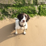 Tilly (English Springer Spaniel)