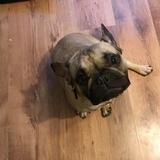 Bruce (French Bulldog)