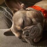 Sid (French Bulldog)