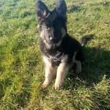 Zeus  (German Shepherd Dog)