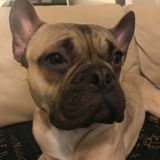 Busta (French Bulldog)