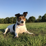 Poppy (Jack Russell Terrier)