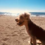 Oddie (Yorkshire Terrier)